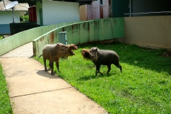 Just a couple-a wild bearded pigs duking it out for territory at park headquarters. Not pictured: victorious mud bath.