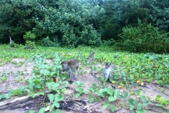 Long-tailed macaques dining on beach blossoms.