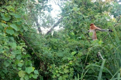 Our first glimpse of the proboscis monkey, arguably the biggest draw for Bako visitors...but there are so many draws.