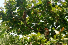 Proboscis monkeys are primarily arboreal.